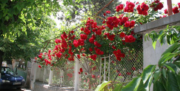 Червени рози на ограда