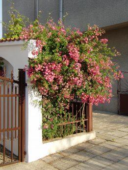 Рози на ограда