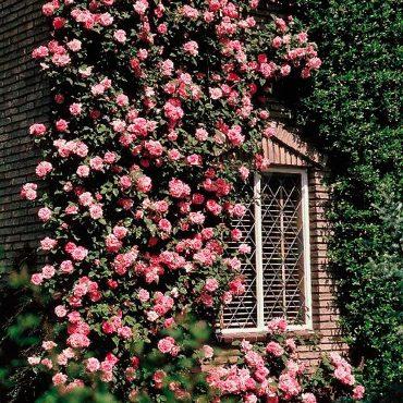 пълзящи рози съчетани с декоративни структури