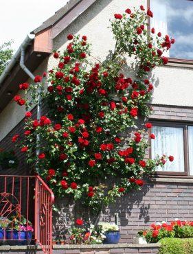 Рози съчетани с декоративна стена