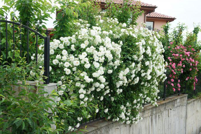 Бели рози съчетани с декоративни структури